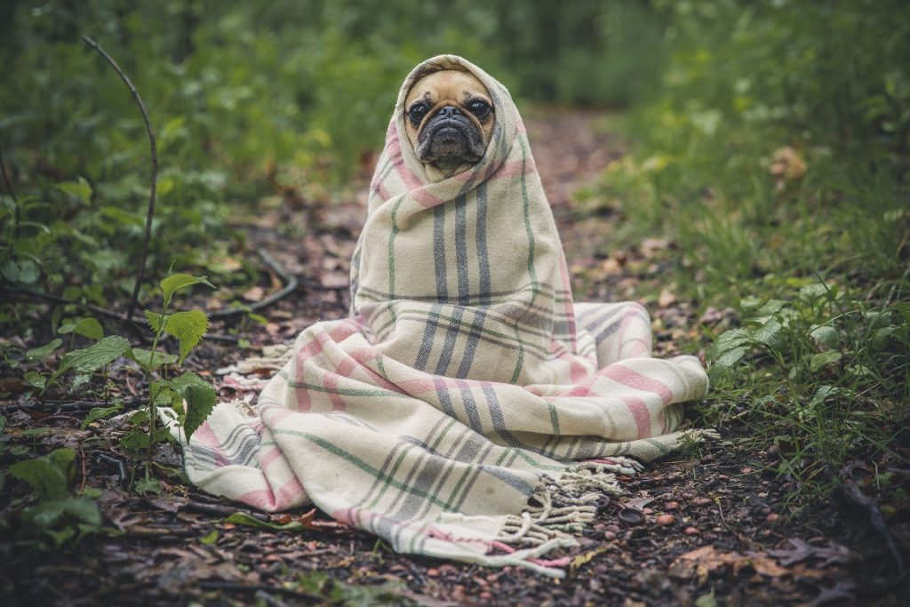 Photo of a pug with a blanket wrapped around it. The dog is seated like a person